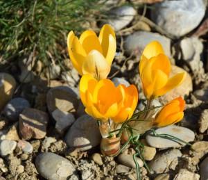 Frühlingsblumen 5