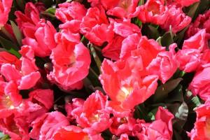 tulpen4