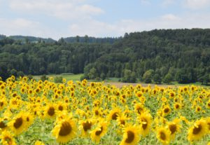 2_Sonnenblumen